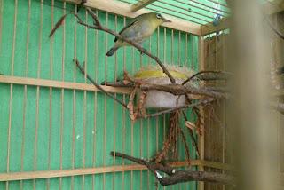 Ternak-Burung-Ciblek