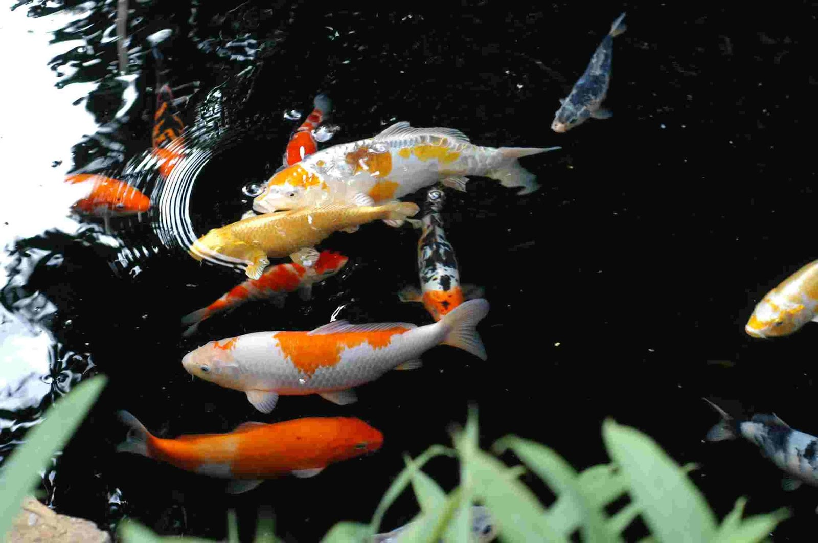 Nature 39 s beauty watergarden news june 2015 for Koi fish water