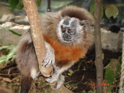Silvery brown tamarin