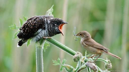 Fakta Unik Burung Kedasih Gaco Gacor