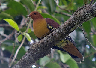 cinnamon headed green pigeon