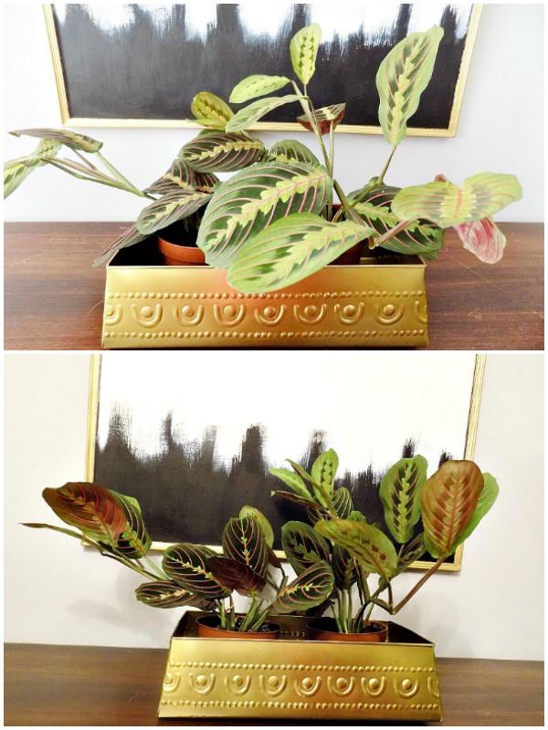 Marant plant prayer plant