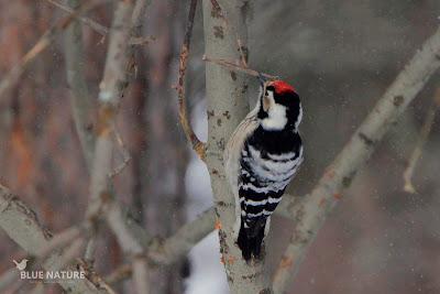 Macho de pico menor - Lesser spotted woodpecker male - Dendrocopos minor. El píleo rojo (capirote) es único en machos adultos, las hembras presentan el píleo negro y los jóvenes tienen colores blancos manchados sin el píleo tan intenso todavía.
