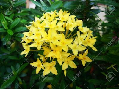 Tukang Taman Surabaya bunga Asoka