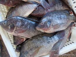 16 Benefits of Black Tilapia Fish for Health and Beauty - Healthy T1ps