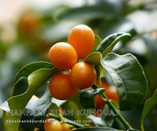 buah Kumquat yang belum dipanen