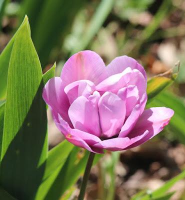 Photo Pink Tulip
