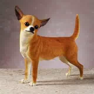 Pet Chihuahua