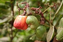 Anacardium-occidentalis