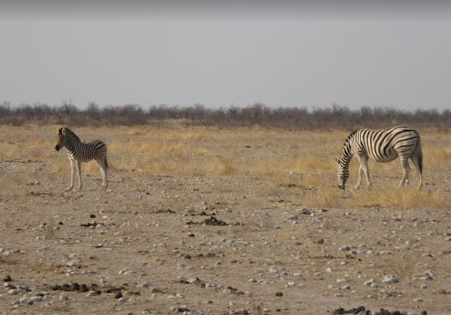 zebra con un cucciolo all'etosha