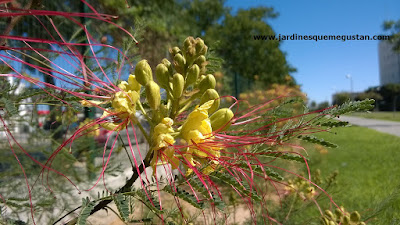 Ceasalpinia gilliesii es una arbusto de Argentina utilizado en xerojardinería