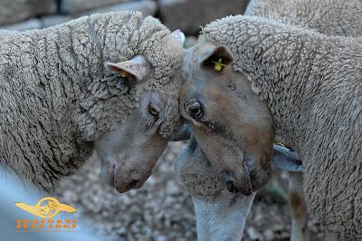 pecore che si fronteggiano
