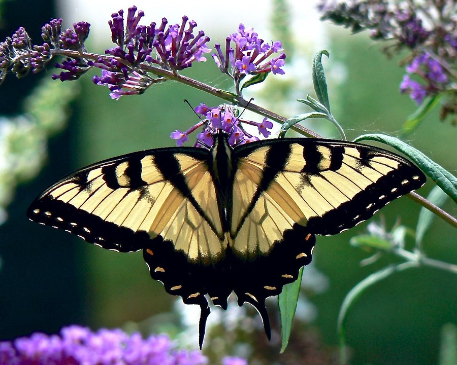 wild birds unlimited  black and yellow butterfly