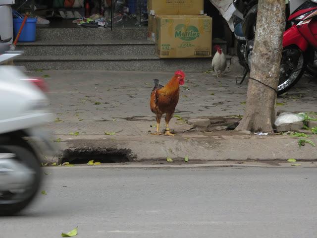 Rooster crossing the road in Hanoi Vietnam