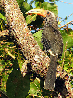 Malabar Grey Hornbill - Coorg, Western Ghats, India, Asia