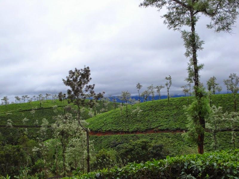 tea estates in Kerala countryside