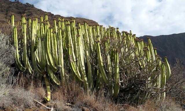 Euphorbia canariensis f. viridis - Cardón 02