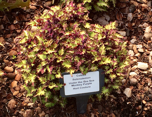 A small leaved gold and purple fringed-tip coleus.