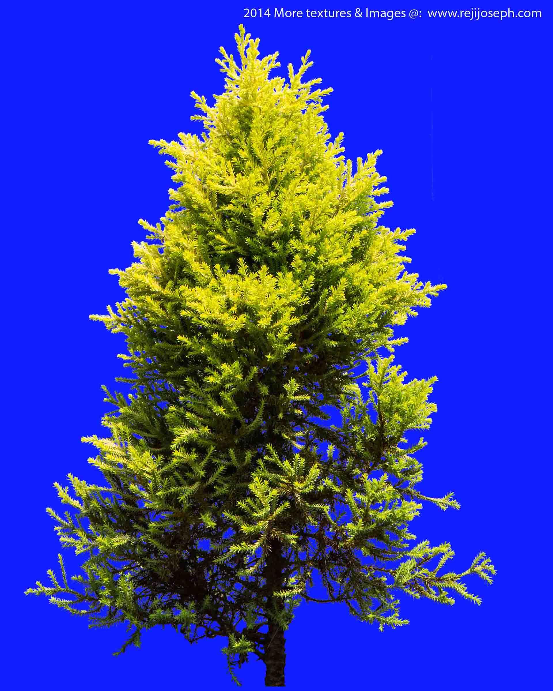 gold crest Garden Plant texture 00001