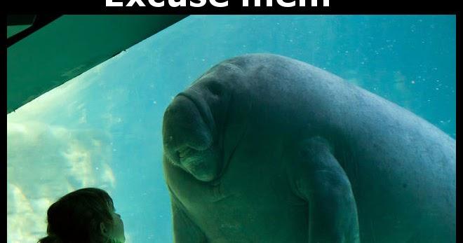 Aquarium manatee meets little girl funny joke pictures Manatee aquarium