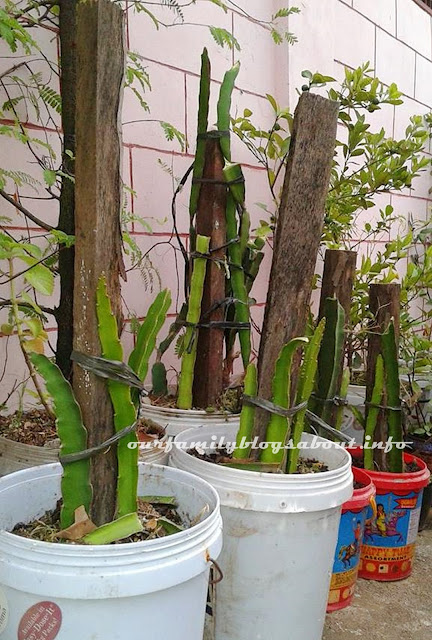 how to grow dragon fruits, planting