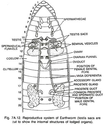 Nervous System Of Earthworm