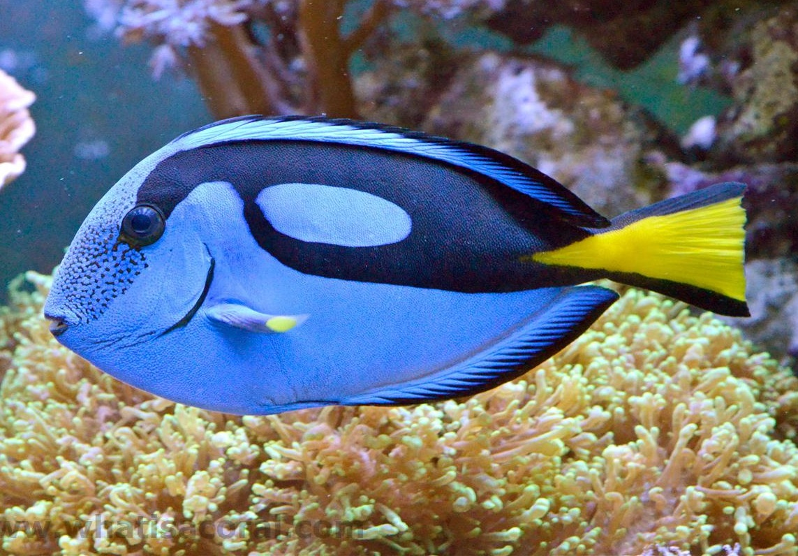 Regal Tang - Fishes Wo...