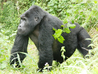 safari, transfer to Bwindi impenetrable Forest, southwestern Uganda for your gorilla trek.