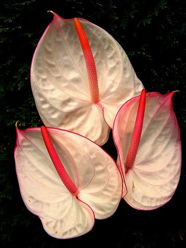 Beautiful Flowers Anthurium