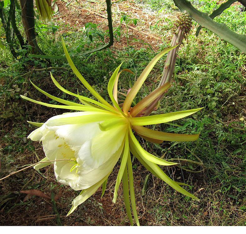 Resultado de imagen de pitahaya FLORES