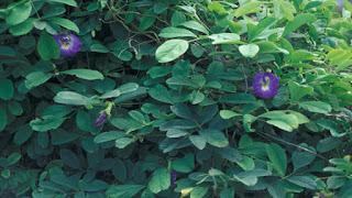 khasiat tumbuhan telang