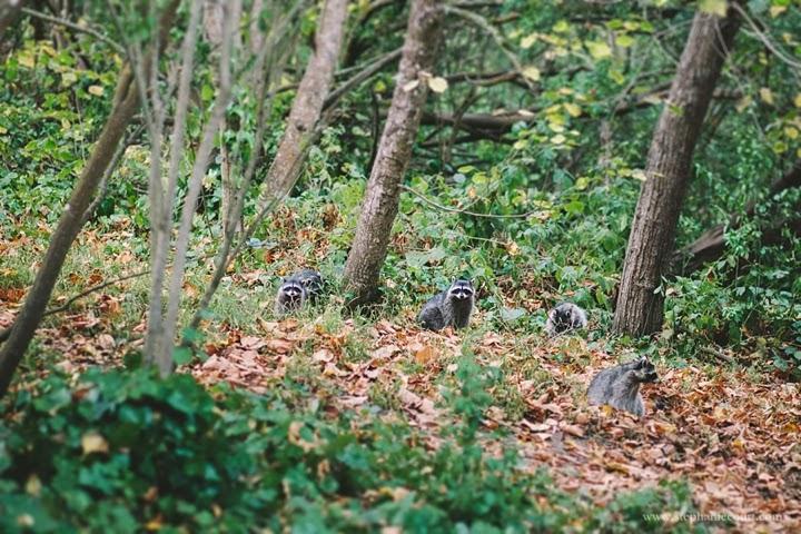 raccoons-golden-gate-park