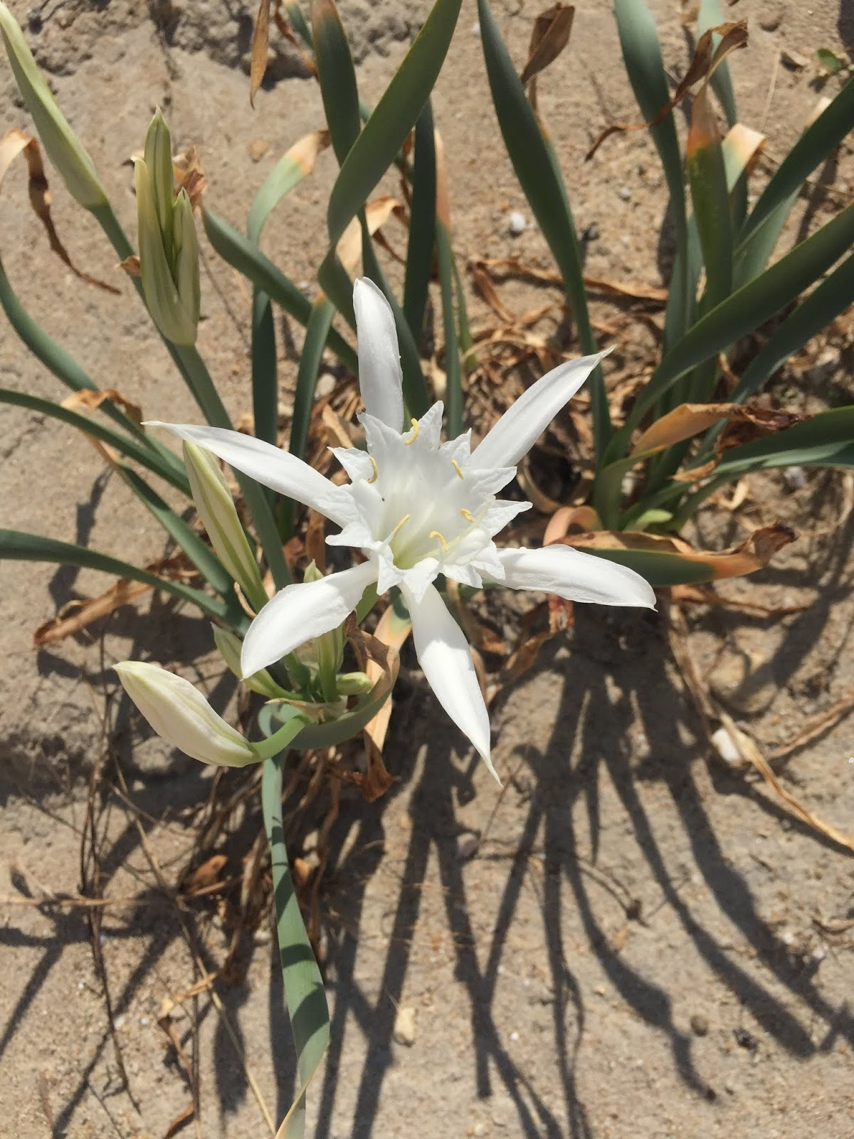 pancratium maritimum, sea daffodil, flower, sea, summer