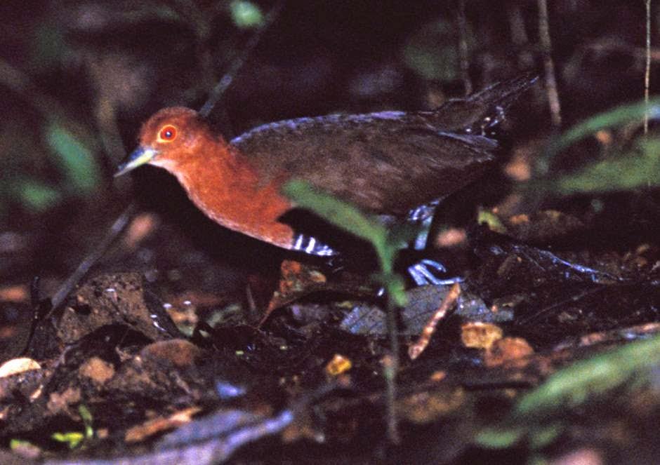 polluela de la jungla Rallina eurizonoides