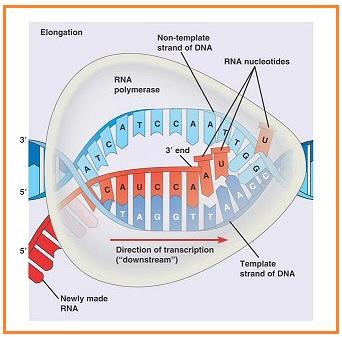 Biologi gonzaga soal biologi substansi genetika dan genetika rantai dna sense mempunyai kode basa nitrogen sebagai berikut ccuart Images
