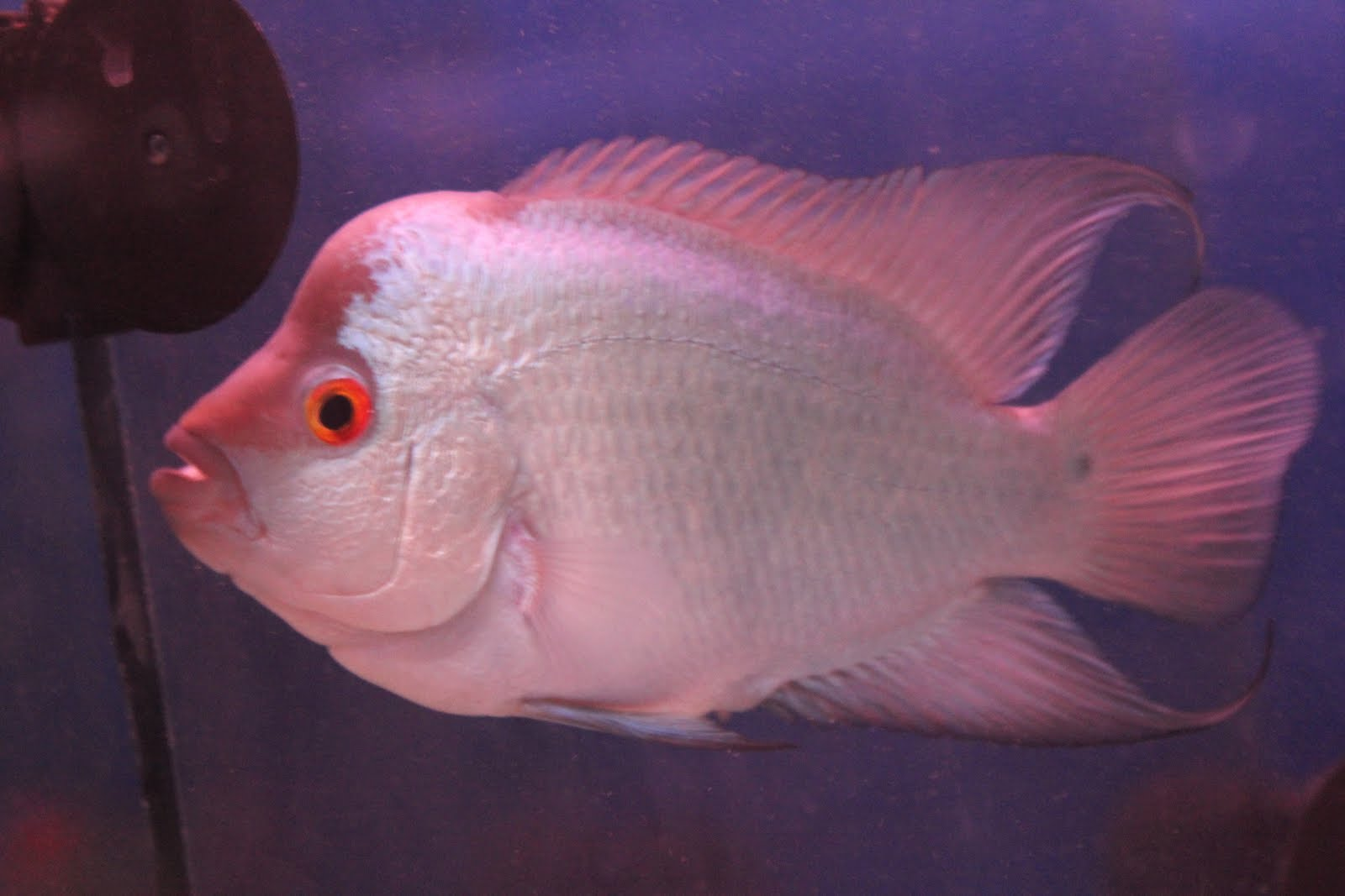 Flowerhorn The Hybrid Cichlids: Thai Silk Flowerhorn ...