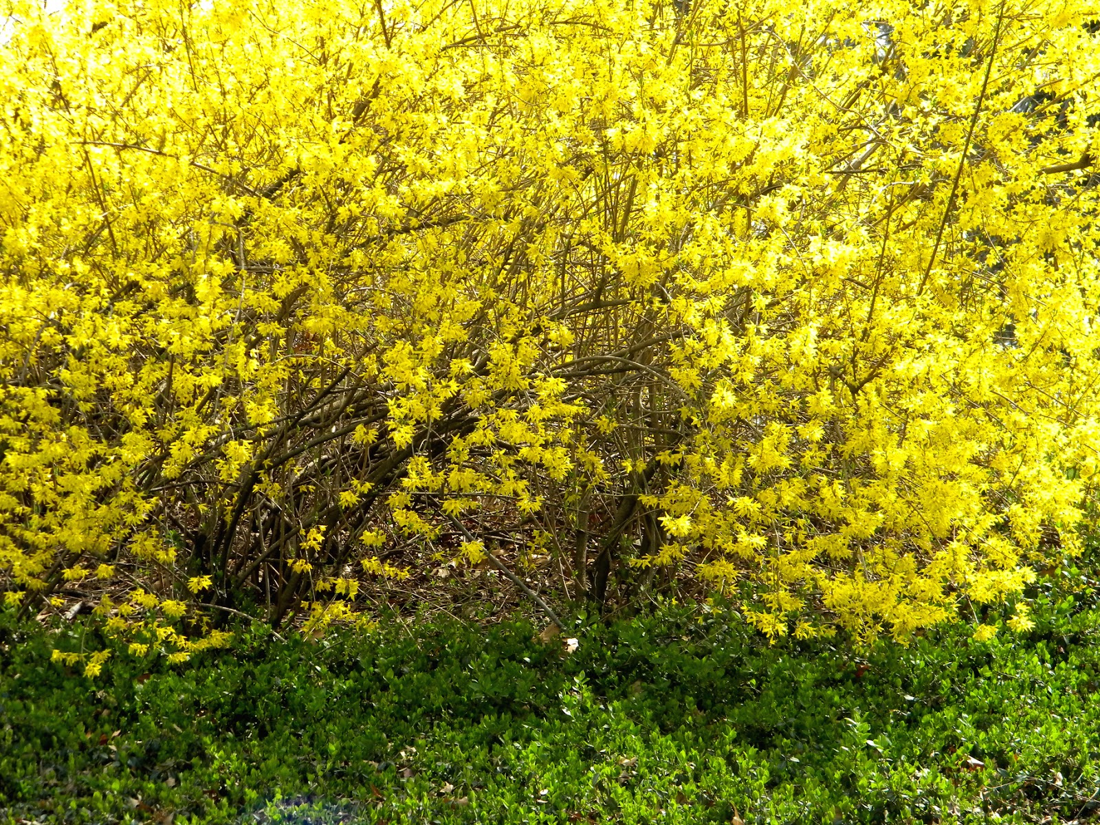 Forsythia Bethesda Fountain Strawberry Fields Central Park New York City