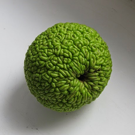 Osagedorn, Milchorangenbaum, Osage orange, hedge apple, horse apple, monkey ball, bois d'arc, bodark, bodock