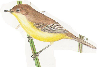 nido de Doradito común Pseudocolopteryx flaviventris