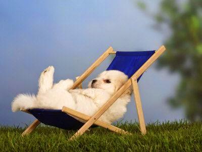 Just bein' lazy--Coton De Tulear
