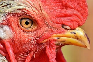 Perawatan harian ayam aduan memang sangat penting , ini menjadi faktor penentu dari kualitas ayam anda, Perawatan ayam  dibedakan menjadi 2 jenis, perawatan rutin dan perawatan berkala. Perawatan rutin merupakan  perawatan yang dilakukan sehari-hari oleh  si pemilik , sedangkan perawatan berkala adalah perawatan yang dilakukan untuk mempersiapkan ayam  sebelum berlaga atau perawatan untuk memulihkan kondisi fisik ayam  setelah di adukan.  Di kesempatan kali ini, kita akan mengulas tentang cara perawatan harian  ayam bangkok  aduan yang  rutin dilakukan sehari-hari.