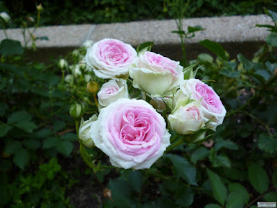 ティッシュバラのようなバラ