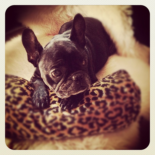 LeRoy the French bulldog
