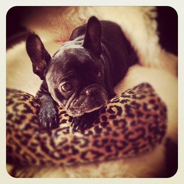 LeRoy the French bulldog