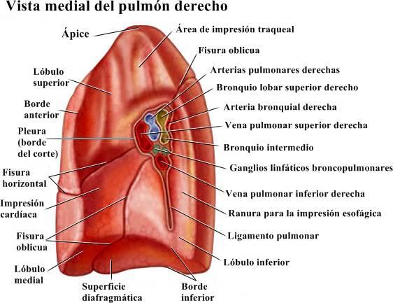 Partes y funciones del pulmón