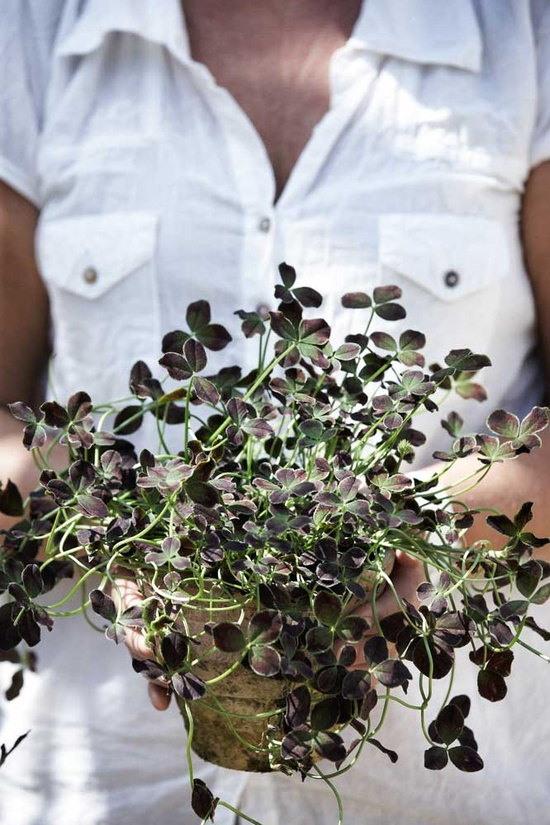 MARTHA MOMENTS: Caring for Potted Clover