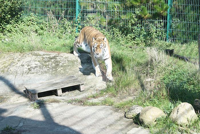Tigers at Isle of Wight Zoo