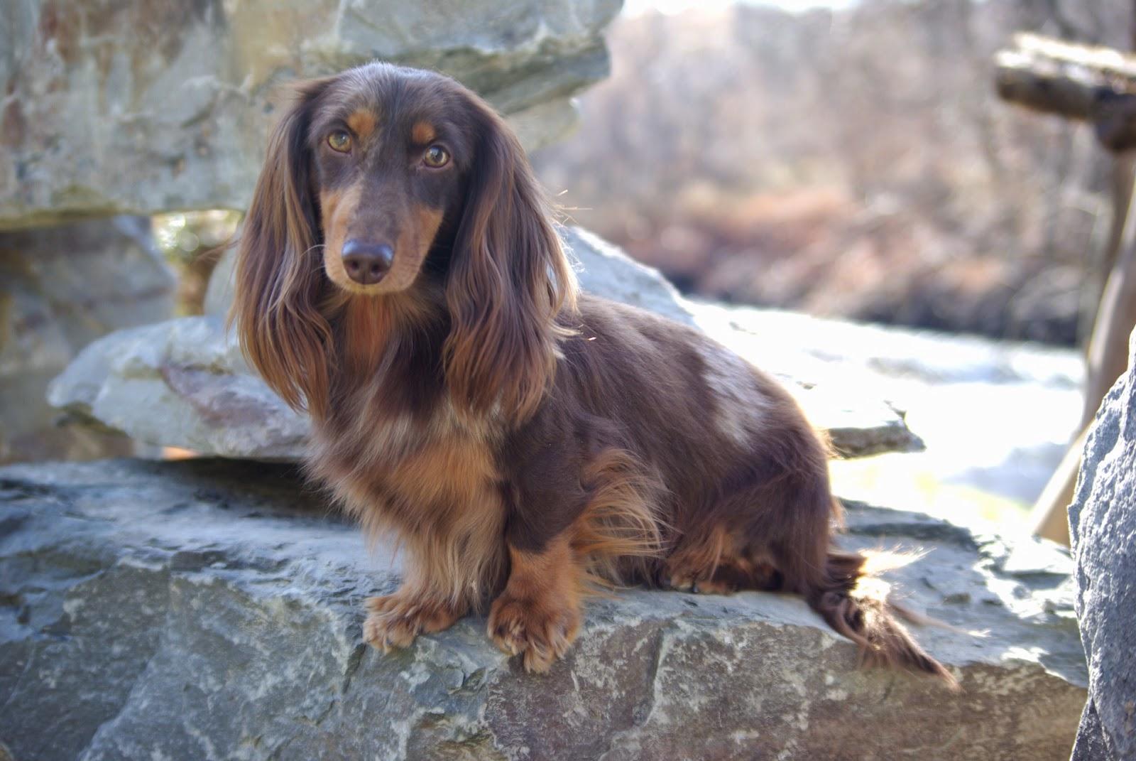 Long Hair Sires ~ Reevesdachs Miniature Dachshunds