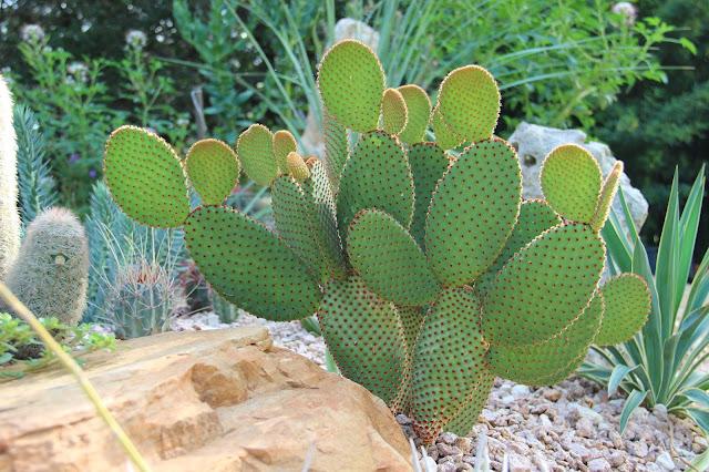 Opuntia Microdasys Rufida,