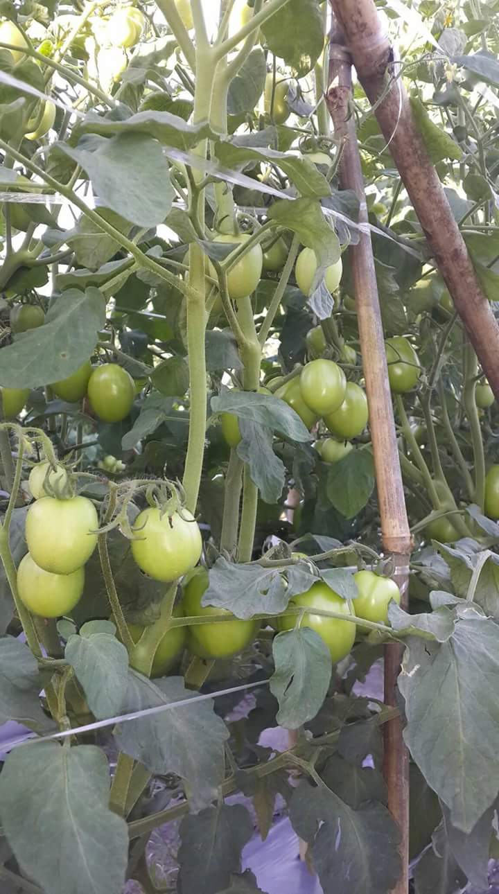 Tanaman Tomat dengan Daun, Bunga, dan Buah yang Sehat